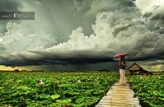 Lotus fields and the approaching storm. #SiemReap #Cambodia