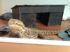 A 6 Month old Bearded dragon. Female. She comes with a 3 foot tank, lights, watering bowl and stone hut. Unfortunately, she is not getting the attention that she deserves and so therefore needs to...