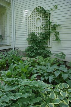 Love the trellis mounted on the side of the house amongst the Hosta and ferns in this shade garden.