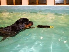 Dog having a swim in the hydrotherapy pool