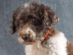 Adopt Iris, a lovely 6 years Dog available for adoption at Petango.com.  Iris is a Poodle, Toy and is available at the National Mill Dog Rescue in Colroado Springs, CO.  milldogrescue.org...#puppymilldog#rescue