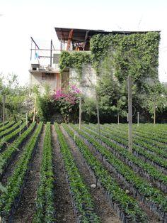 Coffee tree seedlings at a arabica bean coffee farm near Antigua, Guatemala