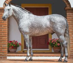 Lusitano stallion.