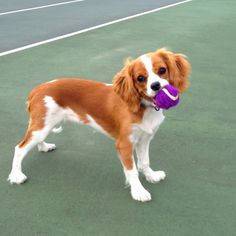Our Cavalier King Charles Spaniel