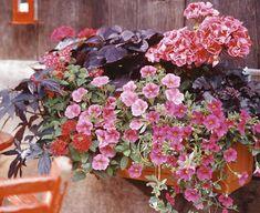 """Rot ist Trumpf: Die dunkelroten Blätter wirken wie Samt.     1 x Buntnessel (Solenostemon 'Dark Star')     1 x Geranie (Pelargonium 'Claudio')     1 x Purpurglöckchen (Heuchera 'Purple Petticoats')     1 x Hängepetunie """"Superbells"""" (Calibrachoa 'Pink')     2 x Petunie (P. 'Strawberry Frost')     1 x Verbene (Verbena 'Ruby Red')     1 x Süßkartoffel (Ipomoea batatas 'Blacky')"""