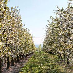 Vignola, ciliegi in fiore - Instagram by anticaforneriaincentro_vignola