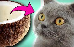 Kokosöl ist ein echtes Wundermittel für den Menschen: Es hilft gegen Hautkrankheiten, lindert Gelenkschmerzen und schützt vor Alzheimer und Demenz. Das gilt insbesondere für das native Kokosöl. Aber Kokosöl bei Katzen? Auch bei ihnen entfalten
