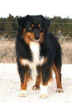 Australian Shepherd: what Kato all grown up will look like :)
