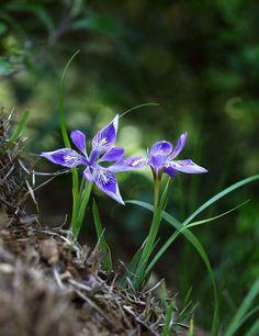 각시붓꽃 Purple Flowers, Wild Flowers, Champs, Trees To Plant, Spring Time, Beautiful Flowers, Pictures, Photography, Gardens