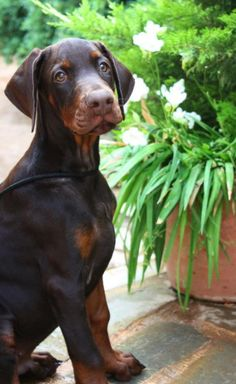 The Doberman Pinscher is among the most popular breed of dogs in the world. Known for its intelligence and loyalty, the Pinscher is both a police- favorite Cute Cats And Dogs, Big Dogs, I Love Dogs, Baby Puppies, Cute Puppies, Dogs And Puppies, Doggies, Rottweiler, Doberman Pinscher Puppy