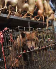 Horrific images show caged dogs at restaurants in China where they are about to be killed and eaten The shocking photos show dogs being killed and cooked in Yulin City, Guangxi Province.
