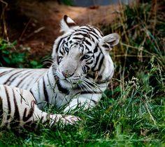 White Tiger, Lazy days