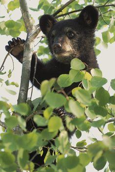 Captive Black Bear Cub Climbing Birch Photograph  -