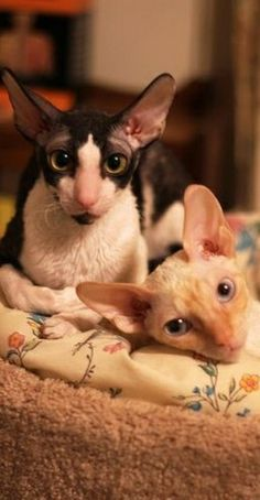 Intelligence, jumping skills, and lengthy toes are what makes Cornish Rex cat amazing. This intelligent breed of cat has the skills to open doors, hang on different objects and can even rummage on your closets. Rare Cats, Cats And Kittens, Elf Cat, Funny Animals, Cute Animals, Cornish Rex Cat, Sphynx Cat, Cat People, Cat Colors
