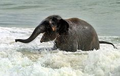 Baby elephant plays at the beach <3
