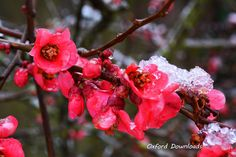 Pink Flowers Cherry Blossom Art Digital by OxfordDownloads on Etsy