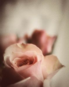 Antique Rose Photograph  love romantic pastel by FirstLightPhoto, $30.00