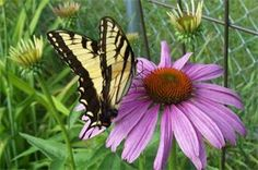 Butterflies are readily attracted to the flowers on this Prairie Splendor Coneflower. Just one of the coneflowers in my garden.