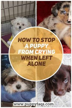 how to stop a puppy from crying when left alone Shitzu Puppies, Baby Puppies, Havanese, First Night With Puppy, Puppys First Night Home, Puppy Care, Dog Care, New Puppy Checklist