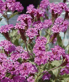 Verbena rigida, Santos Purple.Carpet of large, high-definition-color purple blooms on floriferous spikes.