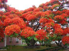 Esto es Delonix regia o comúnmente conocido como Poinciana Real, el Árbol de Llama, el Árbol Ostentoso, el Árbol de Fuego, Gulmohar, entre muchos otros.
