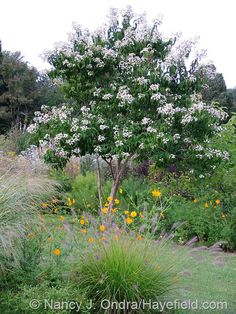 Heptacodium miconioides and Cosmos sulphureus. 3-4m tall multistemmed shrub native to China. Highly scented white flowers in clusters of 7 from Aug-early Oct.  Rare but useful small tree, late flowering and fruit - turning green - purple - tan early winter.