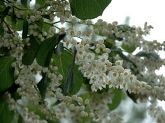 8 best small spring flowering trees images on pinterest spring styrax hemsleyana chinese snowbell tree a rare native of china and first introduced moon gardenspring flowering mightylinksfo