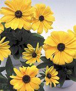 Becky Yellow (Rudbeckia)