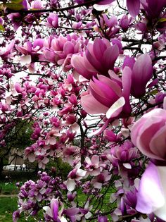 Magnolia Trees in Sacramento Capitol Park which is an extensive collection and to stand in the park during blooming season is a joy to my senses..One of my favorite places to visit when I lived in Sacramento.