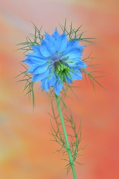 NIGELLA by danielegr376 / 500px Nigella, Beautiful Flowers, Dandelion, Explore, Plants, Dandelions, Plant, Taraxacum Officinale, Planets