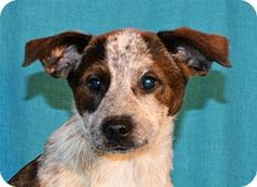 Mukwonago, WI - Australian Cattle Dog/Wirehaired Fox Terrier Mix. Meet **PADDY** MEET DEC 19TH!, a puppy for adoption. http://www.adoptapet.com/pet/14506151-mukwonago-wisconsin-australian-cattle-dog-mix