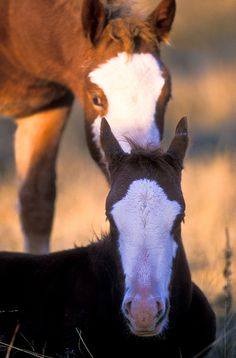 A wild Mare standing behind her foal, Theodore Roosevelt National Park, North Dakota