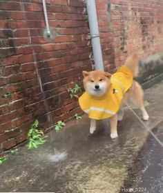 Funny Animal Videos, Cute Funny Animals, Funny Dogs, Love Pet, I Love Dogs, Cat And Dog Videos, Japanese Dogs, Akita Dog, Pet Dogs