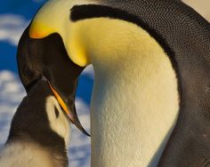 An emperor penguin adult feeds its young chick on the Ross Sea.  Over 30% of emperor penguin colonies are in decline due to a changing climate and environment.  #penguin #worldoceansday #climatechange #happyfeet #emperorpenguin #naturelovers #nature #wildlife #family #beauty