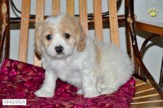 Cavashon Puppy for Sale in Ohio