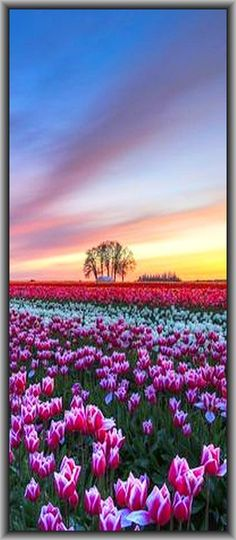 amazing !! TULIPS and SUNSET    #by samir on 500px.com + www.allwallpaper.in/de/white-purple-tulips-wallpaper-11638.html
