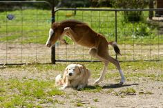 And the horse jumped over the dog. Look at that leg position! Future jumper