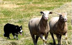 Shady Acres Sheep Dog Trials - Visit Hickman County Trials, Acre, Tennessee, Sheep, Goats, Dog, Events, Link, Diy Dog