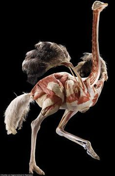 Get RIGHT under nature's skin: See animals turned inside out as Body Worlds creator von Hagens brings his 'anatomical safari' to the UK - An inside-out ostrich forms part of the exhibition at the Natural History Museum The best image abo - Gunther Von Hagens, Skeleton Muscles, Natural History Museum London, Animal Skeletons, Animal Anatomy, Muscle Anatomy, Anatomy For Artists, Anatomy Drawing, Anatomy Reference