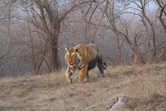 Sitara or Star Male. Back by the Malik lake after a long time. I think he spent two months in Lahpur area. Was growling because sub adults of T19 still here (C) Bobby Bhargava  Reserve: Ranthambhore, Rajasthan