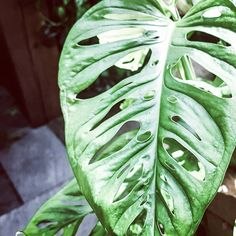 Monsteras are all so unique 🌱 Plant Leaves, Unique, Plants, Plant, Planets