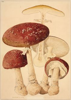 Fly agaric, Amanita muscaria by Worthington George Smith (1835–1917). Watercolour on paper, 1865   Natural History Museum ©