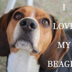 beagle love with picture
