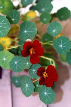 As the name implies this variety is covered with velvety red-black flowers carried on dark blue-green foliage. The vine length is shorter than other nasturtiums, 8 to 19 inches, ideal for small beds a