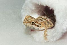 Cute baby Beardie inside a mini Santa hat. Bearded Dragon, Santa Hat, Dragons, Cute Babies, Mini, Baby, Animals, Animales, Animaux