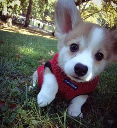 I want one! Cute Corgi, Cute Puppies, Dogs And Puppies, Corgi Puppies, Cutest Puppy, Retriever Puppies, Teacup Puppies, Cute Baby Animals, Animals And Pets