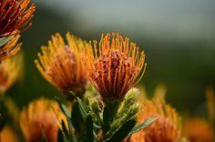 grow well in Western Australia Big Garden, Beautiful Flower Arrangements, Desert Plants, Amazing Flowers, Holiday Destinations, Western Australia, Cape Town, Trees To Plant, Bird Feeders
