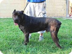 Louisville, KY - Cane Corso. Meet TOBY, a dog for adoption. http://www.adoptapet.com/pet/13847270-louisville-kentucky-cane-corso