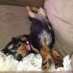 And just sleeping, wherever. | Why Dachshund Puppies Should Be Your New Favorite Puppies