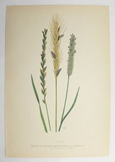 Timothy Rye Grass Green Botanical Print 1923 Vintage Print Spring Gift Idea for the Home Cottage Garden Farm Nature Print Mothers Day Gift by OldMapsandPrints on Etsy